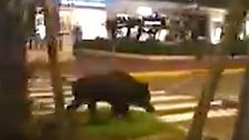 Wild Boar On The Loose Hogs Spotlight In Cannes Without Film Festival